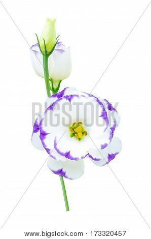 Lisianthus or Eustoma plants isolated on white background with clipping path