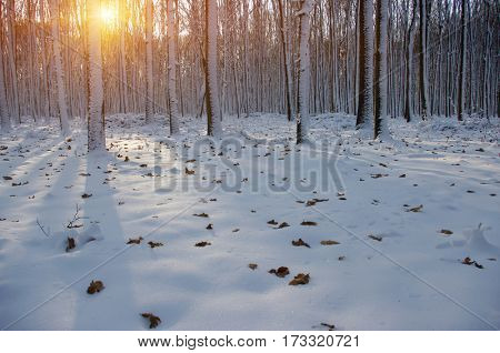 Sunset in the wood between the trees