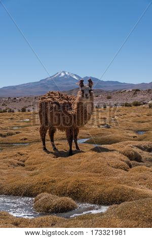 Cute llamas of Altiplano Bolivia South America