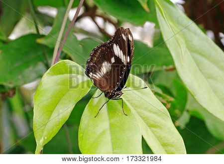Isolated Butterfly resting on a leaf in a butterfly house