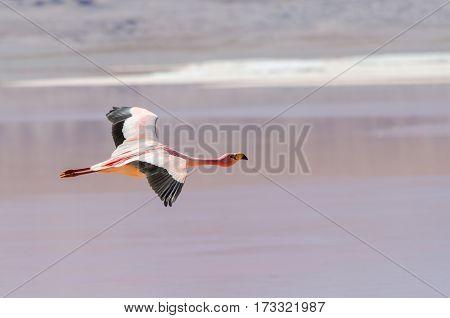 Flamingo flying over lake wildlife Altiplano Bolivia South America