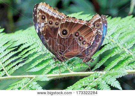 A Pair of Large Owl Butterflies mating while perched on a green fern