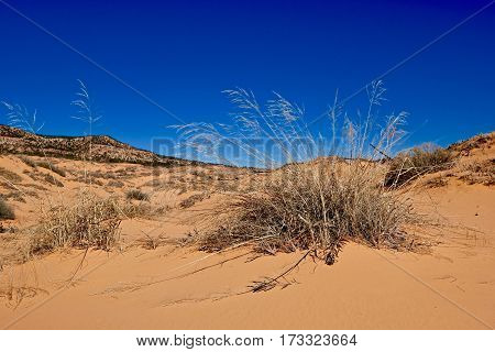 Grass on yellow sand dunes Coral Pink Sand Dunes State Park. Kanab. Cedar City. Utah. Unated States.