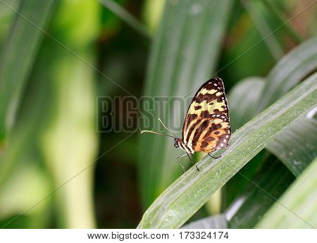 A pretty black and orange butterfly with wings upright sitting on a green leaf