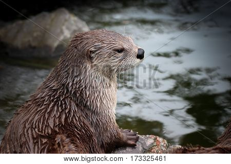 North American river otter with wet fur resting beside waterway, close-up.