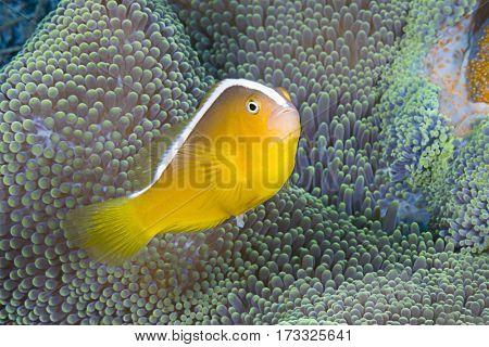 Orange Skunk Clownfish, Amphiprion sandaracinos