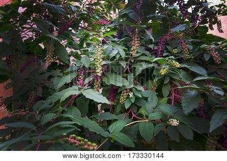 Toxic American Pokeweed Berries