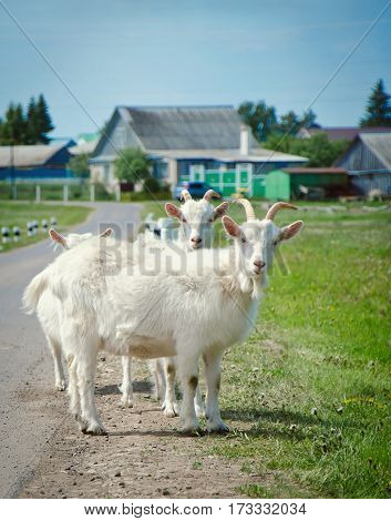 White cute goat stopped on the road in the village