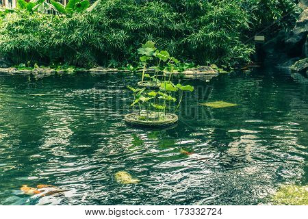 Koi Fish in a pond with water lily and trees surrounding the pond photo taken in Jakarta Indoensia java