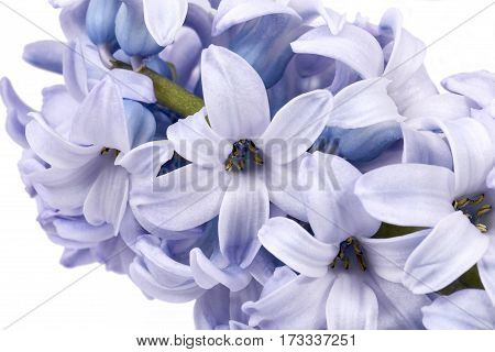 Spring flowers of Hyacinth on white background close up.