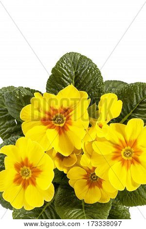 Spring flower of yellow Primula vulgaris place for text