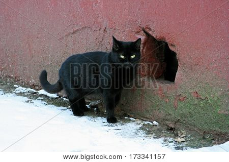 A homeless black cat standing near the wall of an old house and the hole leading to the basement.