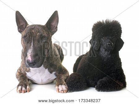 black dwarf poodle and bull terrier in front of white background