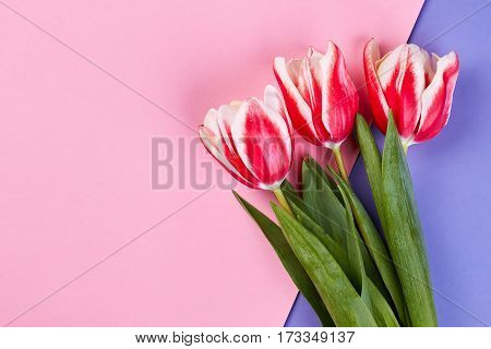 Tulips on pink surface. Just because I love you.