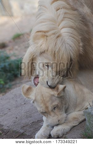 Couple of lions is ready for mating at the zoo