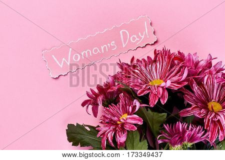 Chrysanthemums on pink background. Celebration of Women's day.