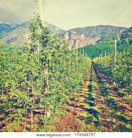 Pear Tree Plantation on the Foothills of Italian Alps Instagram Effect