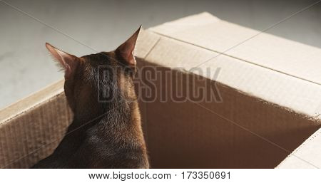 young abyssinian cat sitting in cardboard box, 4k photo