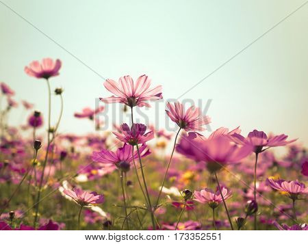 Pink cosmos (bipinnatus) flowers against the bright blue sky. Cosmos is also known as Cosmos sulphureus Selective Focus Retro Color Tone