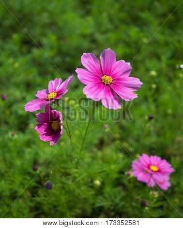 Close-up image of pink cosmos (Bipinnatus) flowers on green field background. Cosmos is also known as Cosmos sulphureus Selective focus