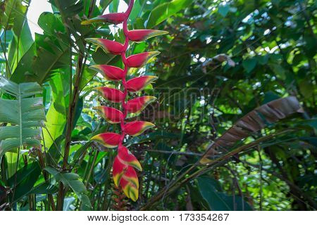 Flower of hanging lobster claw plant or Heliconia rostrata