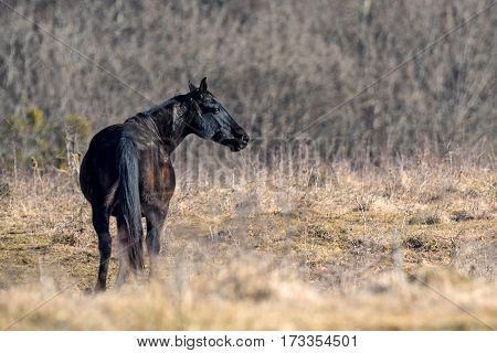 Black horse in natural environment on autumn forest background