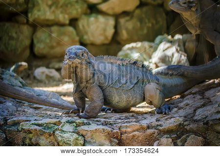 Exotic lizard named green iguana walks on ground