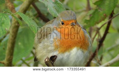 Robin bird on a twig in a forest.
