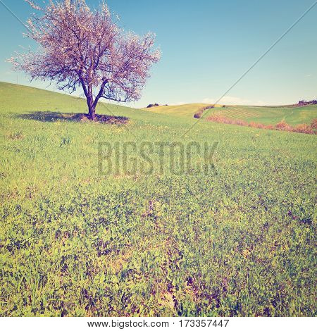 Flowering Tree and Farmhouse Surrounded by Sloping Meadows of Tuscany Instagram Effect