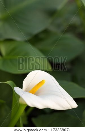 White Calla Flower With Green Leafs In The Background
