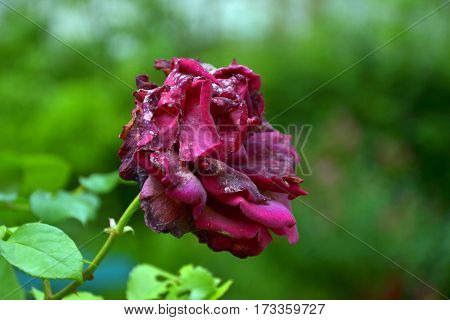 Claret roses in a beautiful garden in summer