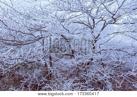 Frozen branches of the trees in Huangshan National park. China.