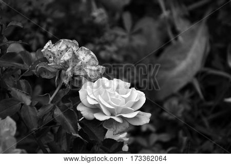 Graceful roses in a garden in summer