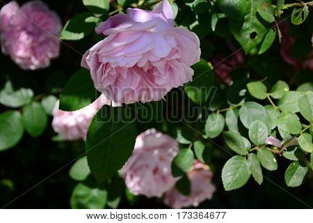 Soft pink roses in a beautiful park in summer