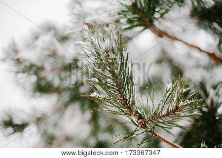 The branch of a pine tree in the snow