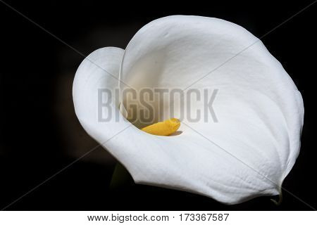 White Calla Flower Head Over Black Background