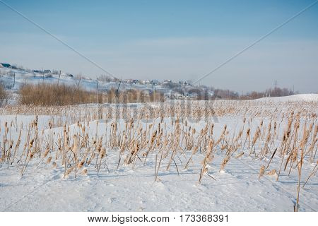 Scirpus in the winter under snow. Russia in the winter during cold a cane. A grass under snow in the field