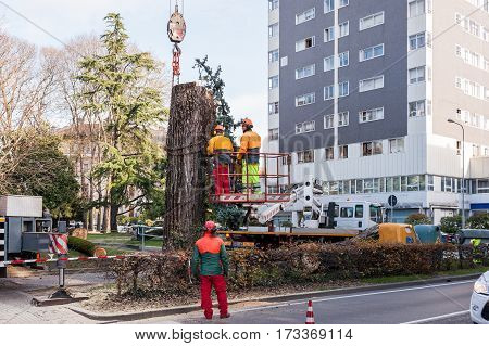 Udine - Italy December 1 2016 : Cutting a large tree in a city. Maintenance of green citizen.