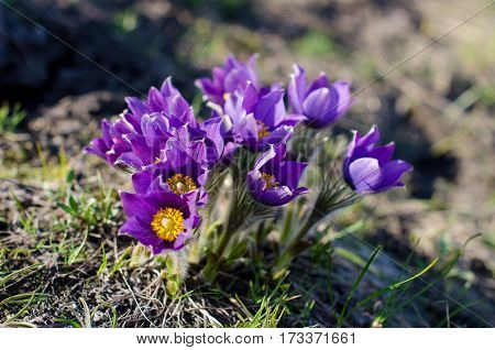 macro beautiful delicate purple flowers snowdrop in spring steppe