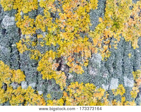 Lichens. Yellow, green, orange and grey lichens (Xanthoria parietina) on a tree stem closeup.  Tree Moss