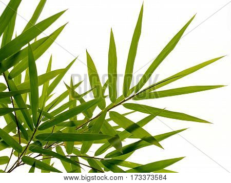 Green bamboo leaves nature isolated on white background.