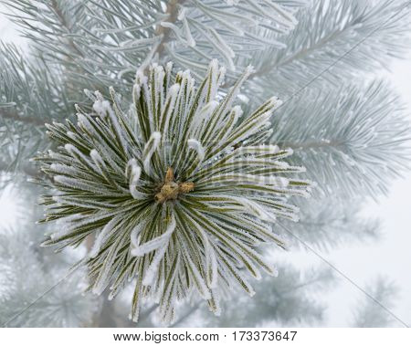 Branch of pine tree covered with hoarfrost.