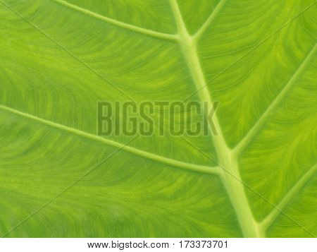 Green leaves texture closeup use as nature background.