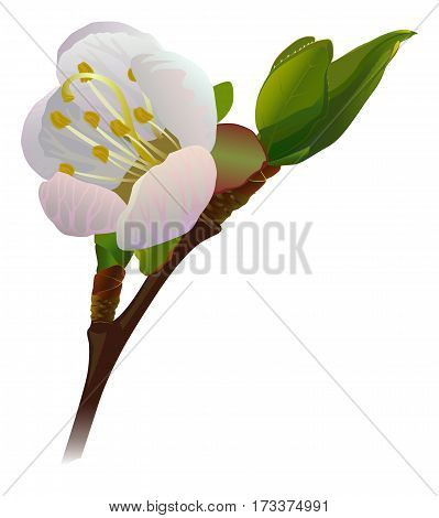Risen apricot flower on the branch. Vector illustration