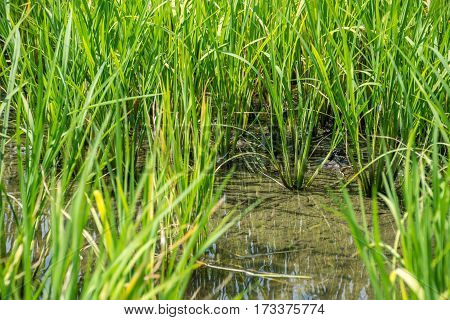 Rice Field On Rice Paddy