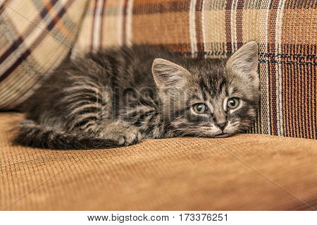 Gray cute kitten lying on the couch at home.