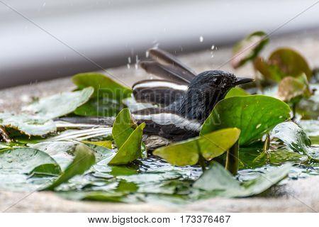 Bird (oriental Magpie-robin) Bath In Puddle