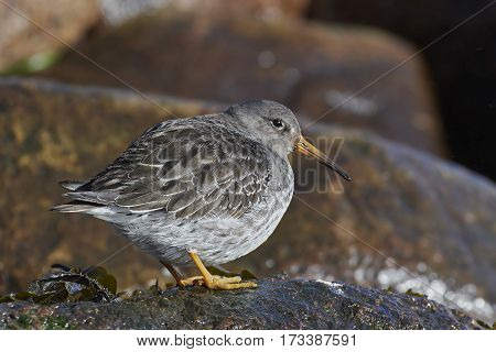 Purple sandpiper (Calidris maritima) standing on a rock in its habitat