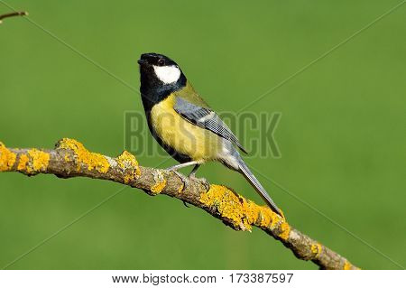 Great Tit - male sitting on a branch covered with lichen