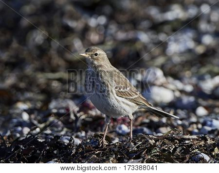 Water pipit standing on the ground in its natural habitat